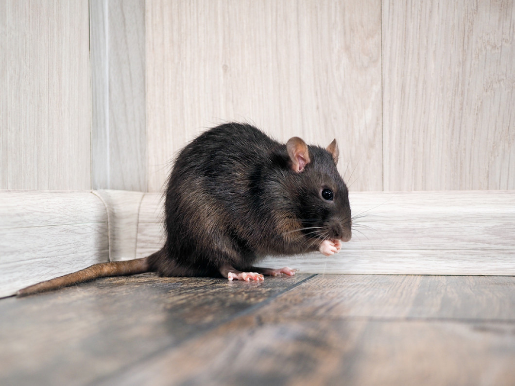Don't Let Rodents Take Over Your Home